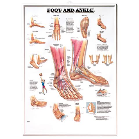 Foot Ankle Chart Anatomical Charts Posters Models